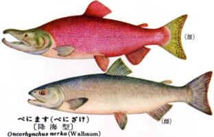 紅鮭:Sockeye salmon/Red salmon